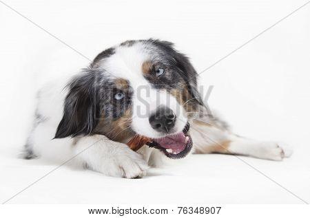 Austrailian Shepherd Chewing On Bones