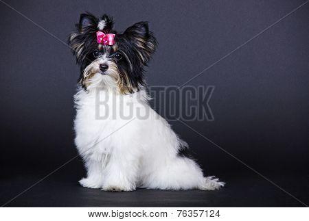 dog Biewer Yorkshire Terrier