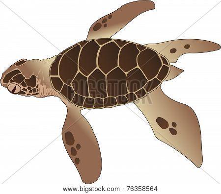 Sea Turtle, Illustration