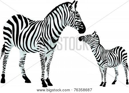 Zebra Or Equus Zebra, Illustration