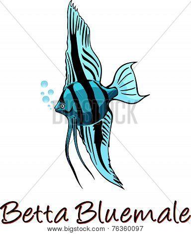 Betta, Color Illustration