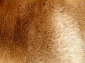 Abstract background of an orange fur of a horse poster