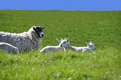 Sheep with Four Cute Lambs in the Green Grass Field with Blue Sky in Spring poster