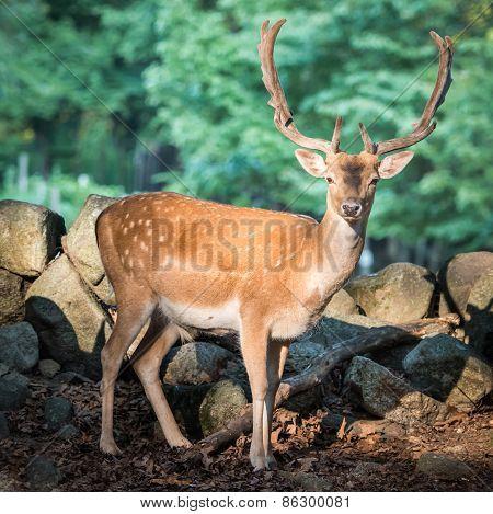 Eurasian Fallow Deer V