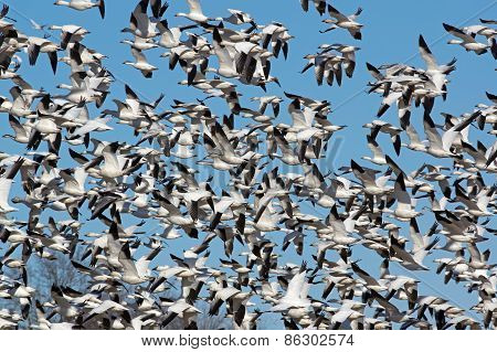 Greater snow geese in flight during migration along the Atlantic Flyway.  Geese will land in dormant cornfields to build energy for the long flight. poster