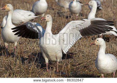 Greater Snow Geese Feeding