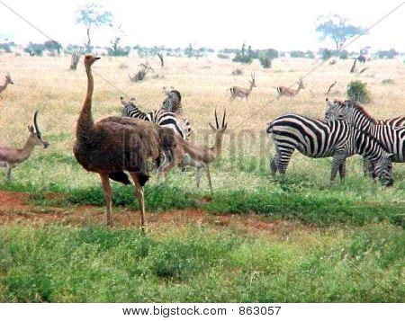 Zebras eating with ostrich