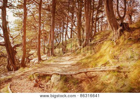 Path through the cedar trees.  Instagram effect