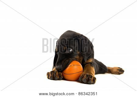 Puppy Of Doberman Pinscher Playing With Ball