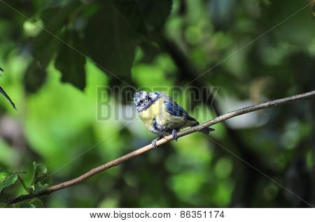 Wee Blue-tit Perched On A Branch.