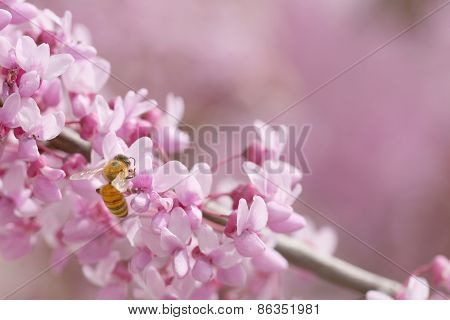 Redbud tree flowering with bee