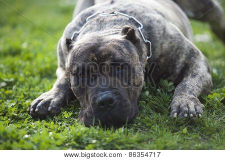 Presa Canario, Dogo Canario, Dog
