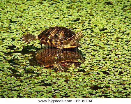 Tortoises, Atocha Tortoises (trachemys Scripta Pond Slider)