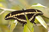 Giant Swallowtail (Heraclides cresphontes) butterfly resting on a leaf poster