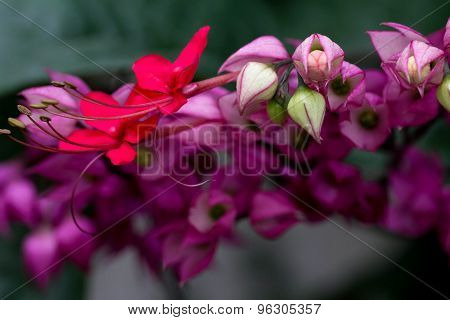 Close Up Bleeding Heart Flower