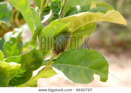 Etrog (citron) On A Branch.