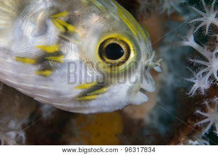 Freckled Porcupinefish (juvenile)
