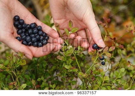 Picking Bilberries