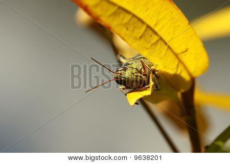 Differential Grasshopper (melanoplus Differentialis)