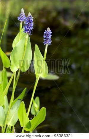 Blooming Pickerelweed (pontederia Cordata) Water Plant In The Garden Pond