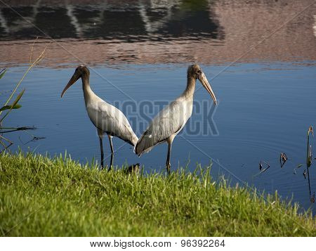 Two baby storks on a lake in Florida