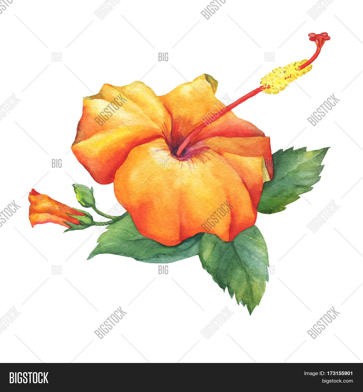 Orange Hibiscus Flower Image Photo Free Trial Bigstock