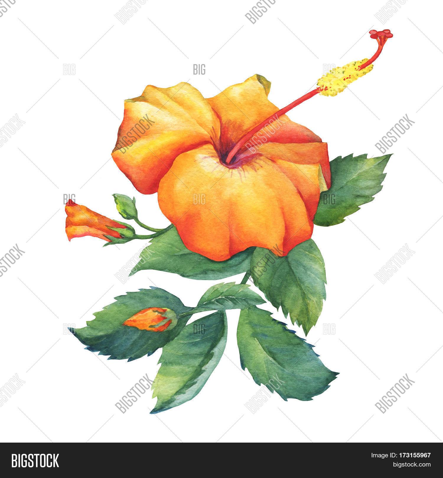 Orange hibiscus flower image photo free trial bigstock orange hibiscus flower hand drawn watercolor painting on white background izmirmasajfo
