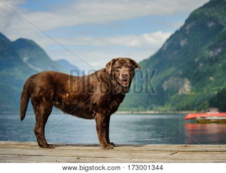 Senior Chocolate Labrador Retriever standing on mountain lake dock