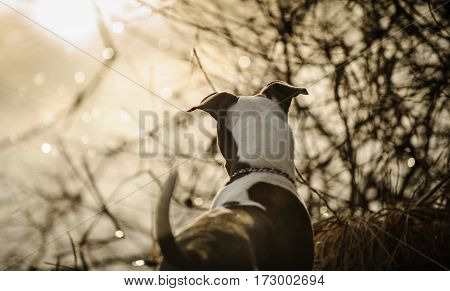 American Pit Bull Terrier puppy in brush by lake