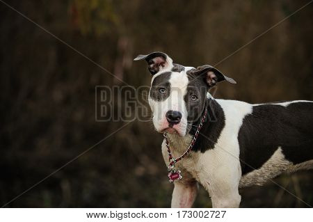 Spotted Blue Nose American Pit Bull Terrier puppy