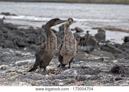 flightless cormorants on a black lava beach on Fernandina Island, Galapagos