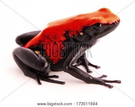 Splashback Poison Dart Frog Adelphobates or Dendrobates galactonotus a poisonous animal from the tropical Amazon rain forest in Brazil. Isolated on white background