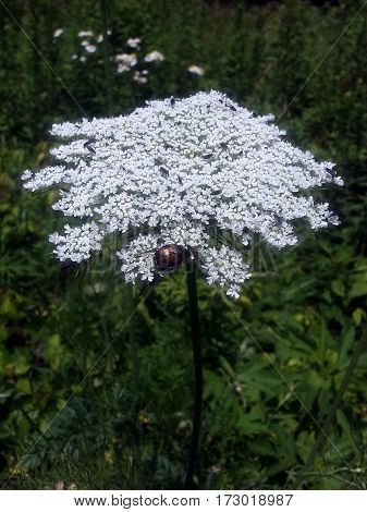 Queen Annes Lace Daucus carota with a Japanese beetle
