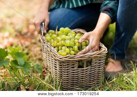 Close-up of woman harvester with a basket of grapes in vineyard