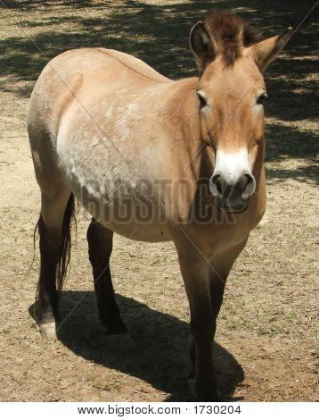Asian Wild Horse Mare
