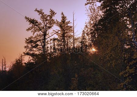 high trees with yellow leaves against the background of the pink sky at sunset