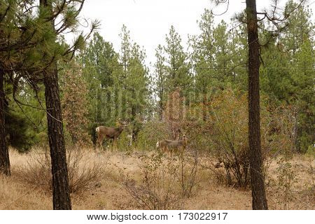Male and female black-tailed deer walking through the forest