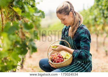Female vintner holding a basket of grapes in the vineyard