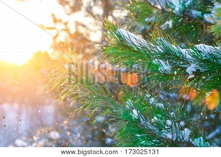 Christmas tree branches at the sun rays covered with snow in the forest. Picturesque winter landscape at sunset. Holiday mood. Xmas and New Year fairy tale background. Beautiful greeting card.