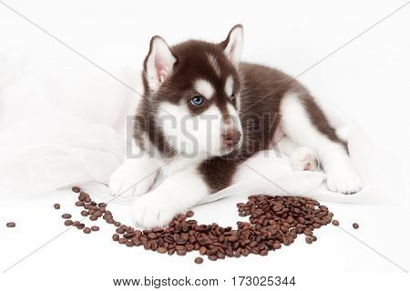 Cute siberian husky puppy lying on white background not isolated