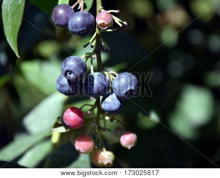 Fresh Blueberries or Bilberries. Blueberry twig blueberry bush in a garden.