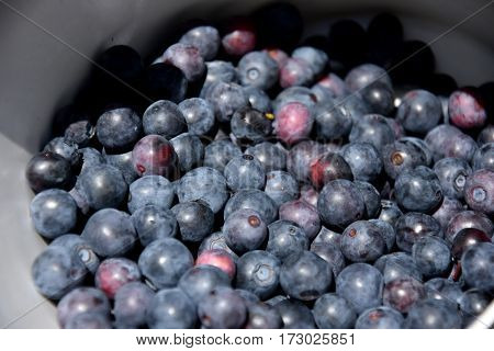 Freshly picked wild blueberries. Fresh Blueberries or Bilberries. group of blueberry or stack of blueberries concept.