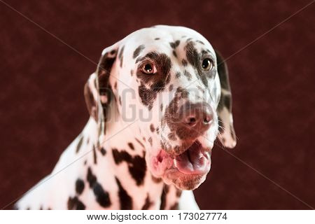 dalmatian yawning in red studio. Very funny dog