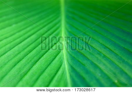 Light-green banana leaf, close-up. Banana leaf texture