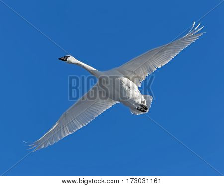 A trumpeter swan in flight in Monticello, Minnesota.