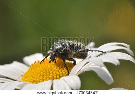ragged bug on daisy, bug on wild flower