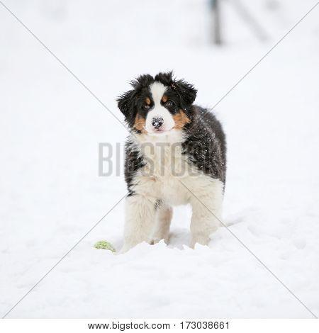 Puppy Of Australian Shepherd In Winter