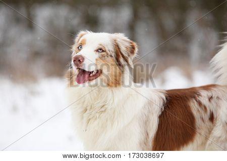 Australian Shepherd In Winter