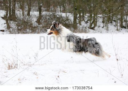Beautiful Australian shepherd moving in winter in snow