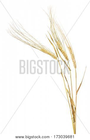 three ears of barley isolated on white background